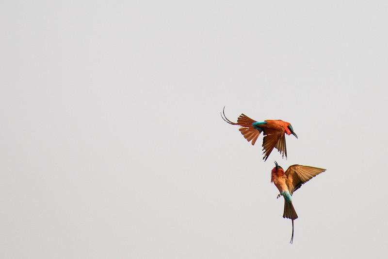 Southern Carmine Bee-eaters<br /> Linyanti Marsh, Botswana