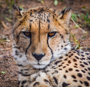 Male Cheetah, Cheetah Conservation Fund, Otjhiwarongo, Namibia