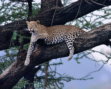 Mother leopard rests in tree and calls to cubs to feast on a gerenuk.  Taken the first day in Africa.  This photo hangs in my living room.
