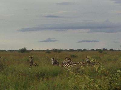 Zebra in the tall grass.
