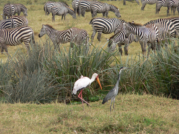 Stork and Goliath Heron with Burchell's Zebra