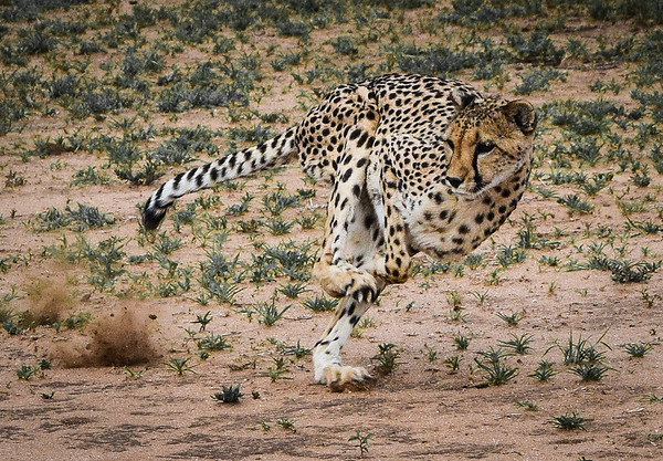 Cheetah Conservation Fund, Otjiwarongo, Namibia