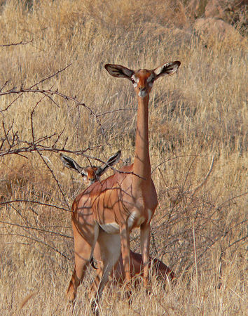 Gerenuks.  These guys actually stand on their hind legs to eat.  Found in Samburu.