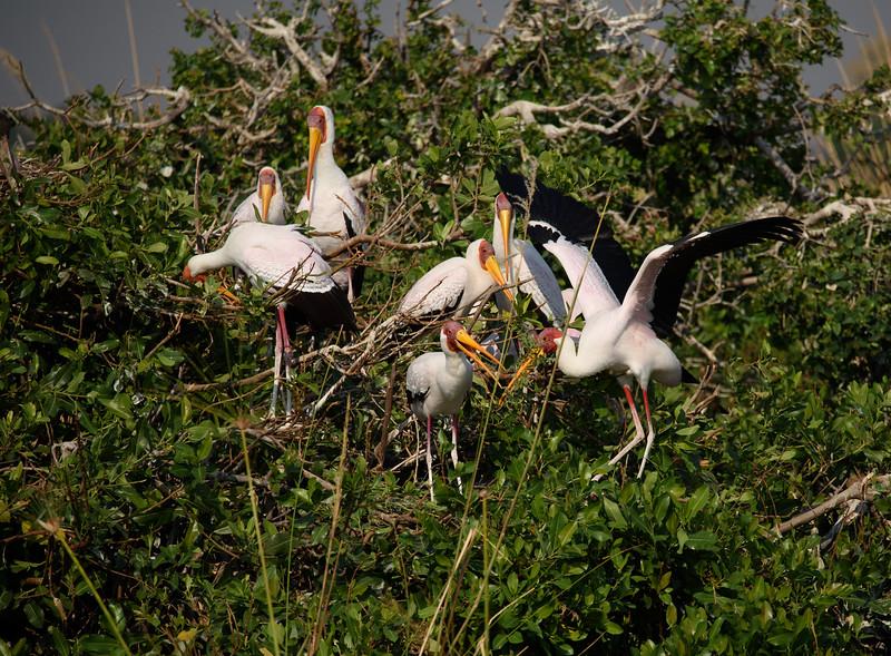 Yellow-billed Storks Nesting