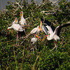 Yellow-billed Storks Nesting