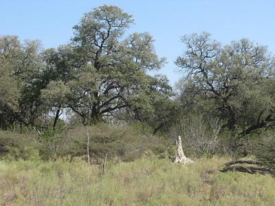 Ubiquitous termite hills