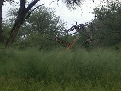 2 Giraffes.
