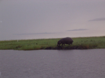 Do not get between a hippo and his water.