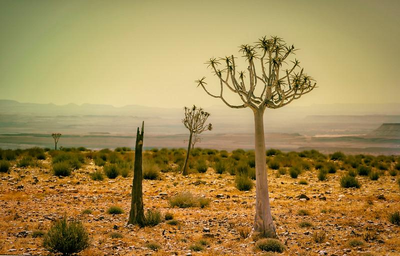 Quiver Trees.  AKA Kokaboom.