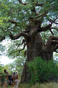 Baobab, Blouberg Preserve, Limpopo Province, South Africa