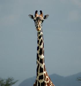 """""""Giraffe, Rukinga Sanctuary"""""""