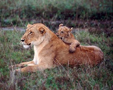 Lion cub nips mother's back