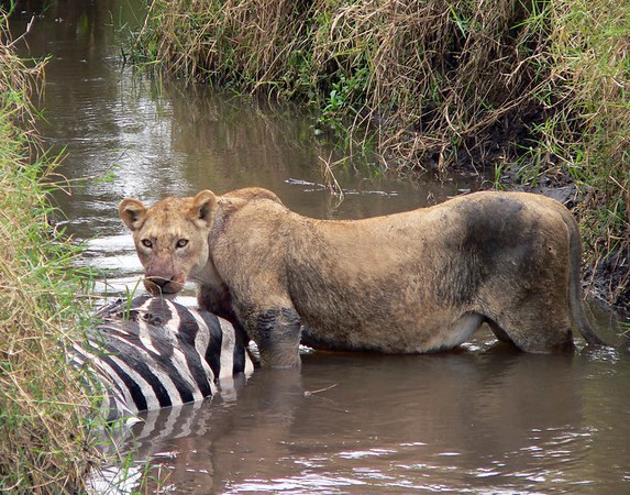 This female lion took down the zebra as it tried to clear a small stream.  Unfortunatly for the lion the zebra fell into the water.  She tried to drag it out of the water but because the banks were very high and steep she just had to eat it where it landed.