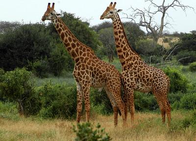 """""""Two Masaii Giraffes, Rukinga Sanctuary"""""""