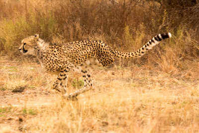 Cheetah on the run, chasing a T-shirt