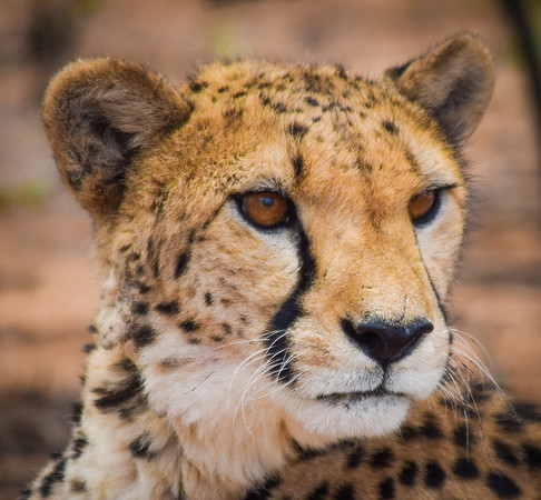 Cheetah (female); Cheetah Conservation Fund, Otjiwarango, Namibia