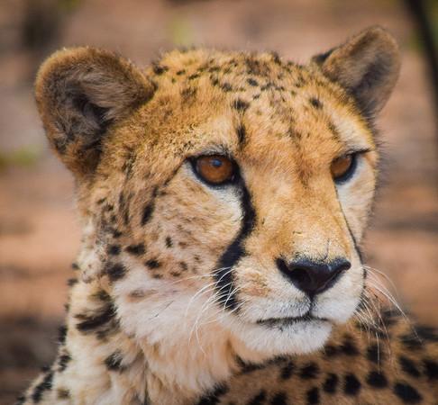 Cheetah (female); Cheetah Conservation Fund, Otjiwarango, Namibia