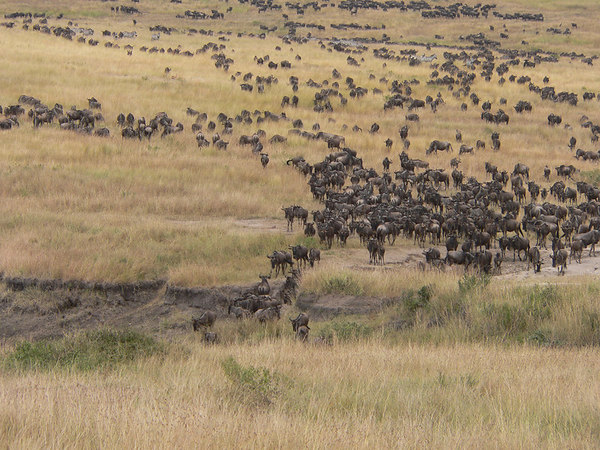 Wildebeest migration across the Masai Mara