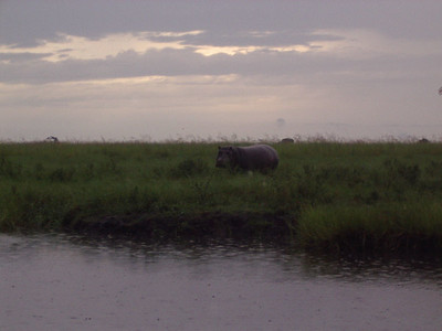 Hippos on the Chobe river in Botswana.