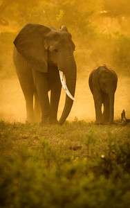 Elephant Cow and Calf