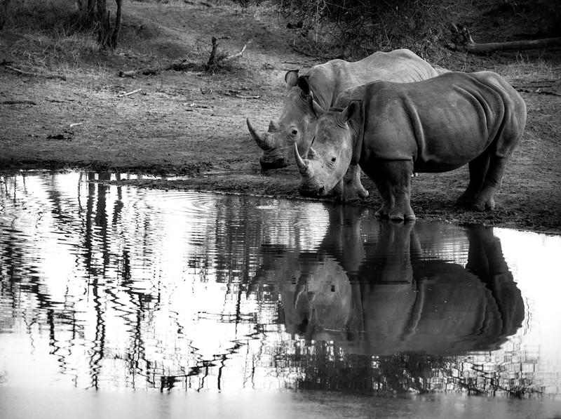 White Rhinos at Water