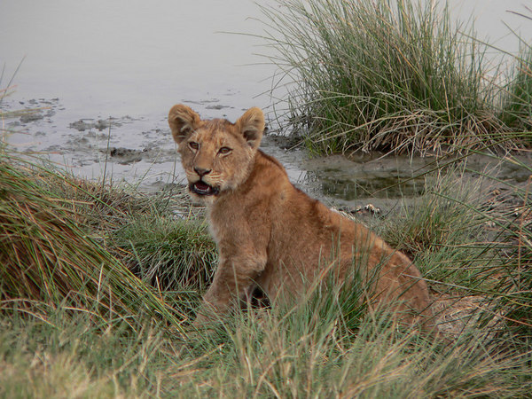 Lion Cub<br /> This little guy was stalking the birds that were on the water<br /> Serengeti, Tanzania Africa