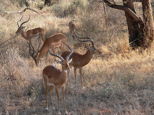 Small herd of Grant's Gazelle
