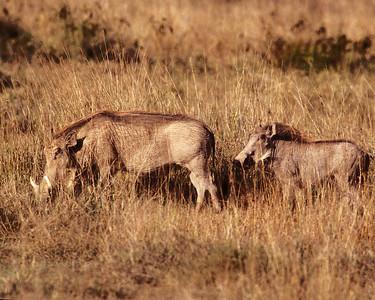 Wart hogs on Kenya safari