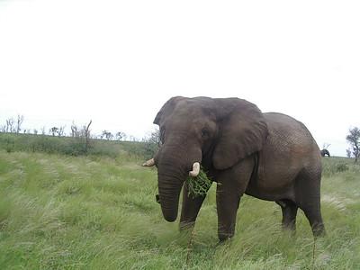 Big bull elephant.