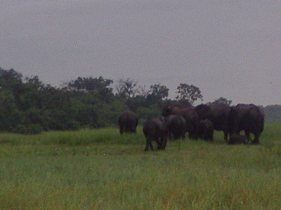 A herd of elephants along the Chobe River.