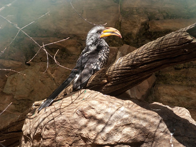 Johannesburg zoo hornbill