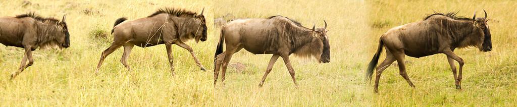 Wildebeeste parade, panorama, Kenya