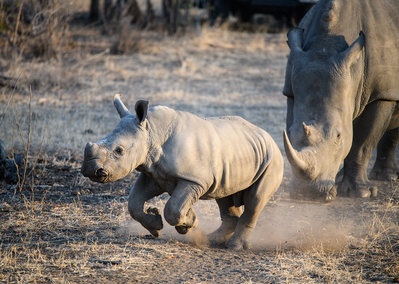 Baby Rhino Runs