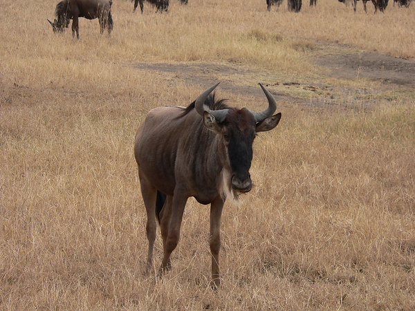 Young Wildebeest, Masai Mara