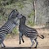 Zebras Fight