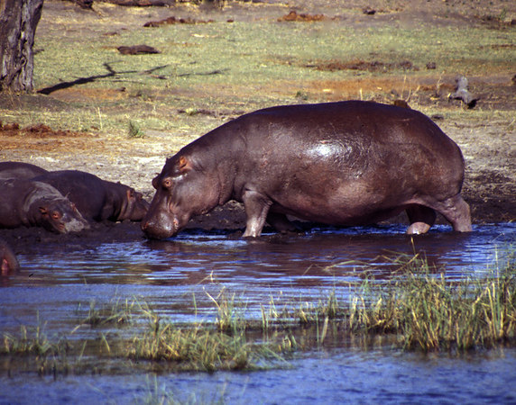 Hippos at a pond in the Okavango Delta, Botswana.