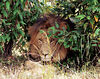 Male African Lion taking an afternoon rest in thee Masai Mara