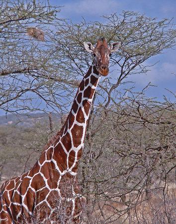 Reticulated Giraffe found only in Samburu
