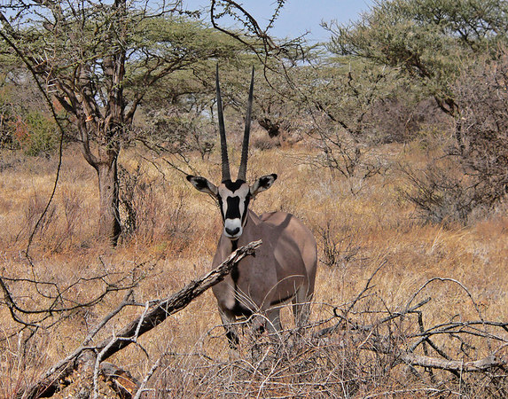 Gemsbok also called an Oryx