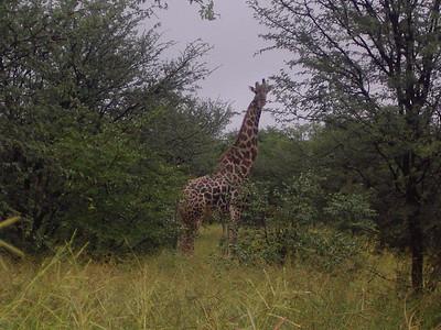 Yes, its a giraffe.