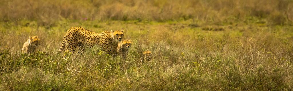 Cheetah Famly