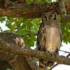 Giant Eagle-Owl