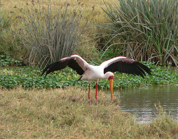 Stork at watering hole in the Ngorongoro