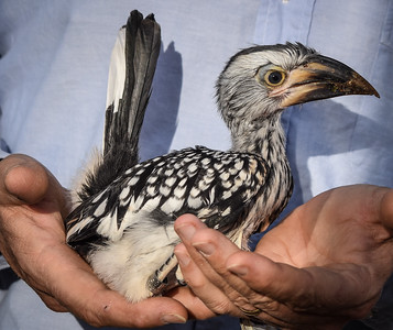 Yellow Hornbill at six weeks old, Waterberg Conservancy, Namibia