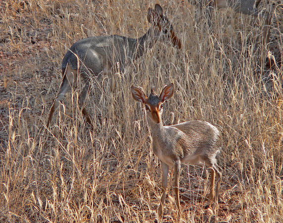 Pair of Dik Diks in Samburu.  These little guys are the smallest member of the Antelope family and are always found in units of two to three.