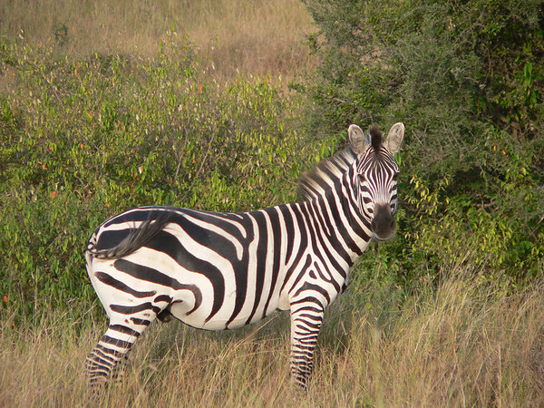 Burchell's Zebra in the Seengeti
