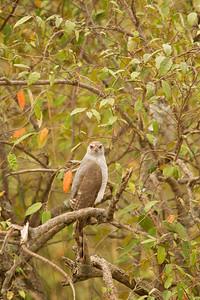 Goshhawk on tree, Kenya
