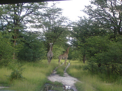 Giraffes crossing the road.