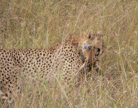What a sight, watching this Cheetah take down this Reedbuck.