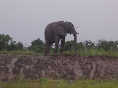An elephant showing off for us.